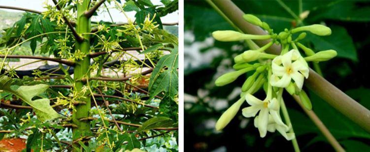 cây hoa đu đủ đực
